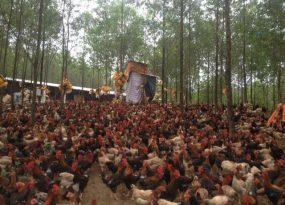 Giá gà đang có dấu hiệu giảm mạnh