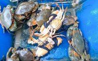 Giá cua biển Cà Mau tăng mạnh