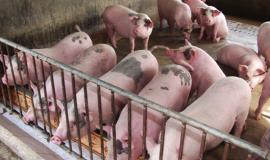 Bệnh dịch tả lợn châu Phi