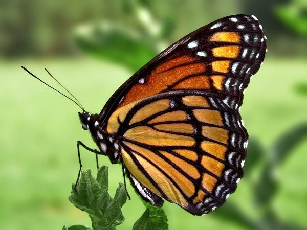 Bươm bướm bay vào nhà là điềm báo gì? Là tốt hay xấu