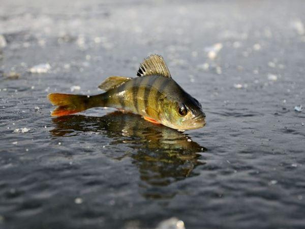 Mơ thấy cá rô đánh con gì may mắn, phát tài phát lộc?