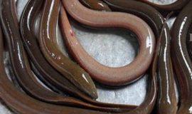 Mơ thấy lươn chọn đánh con nào? Mộng thấy lươn có tốt không