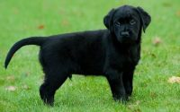 Nằm mơ thấy chó đen đánh con gì chắc ăn? Điềm báo tốt hay xấu?